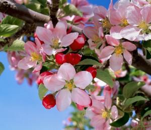 flowers-apple