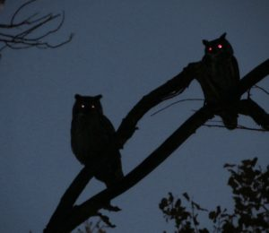 Two-Great-Horned-Owls-at-Dusk